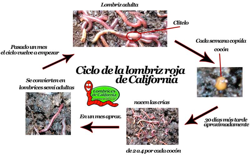 Lombriz roja californiana reproduccion asexual