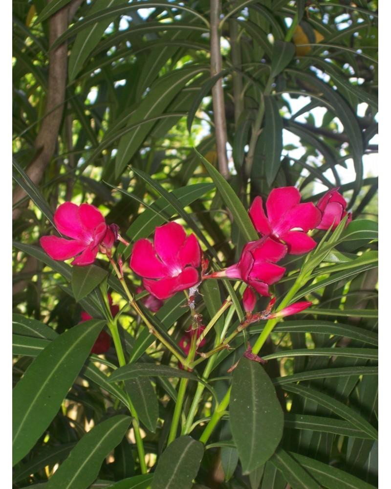 Semillas de Aldelfa (Nerium Oleander)